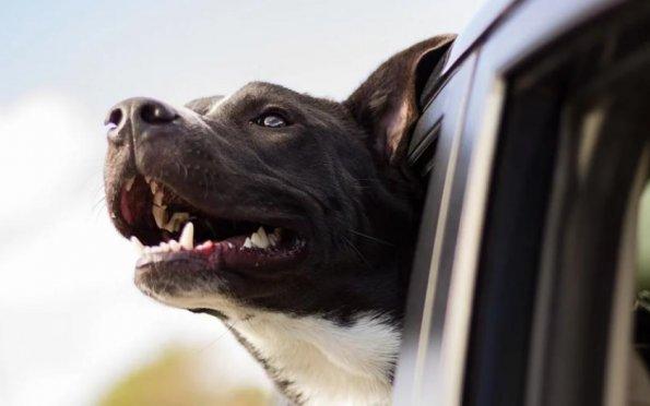Na viagem de carro, use o cinto de segurança para cães. Foto: Pixabay