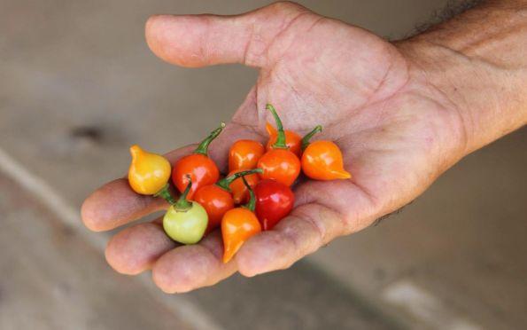 Irrigação estadual incentiva produção de pimenta biquinho em Lagarto