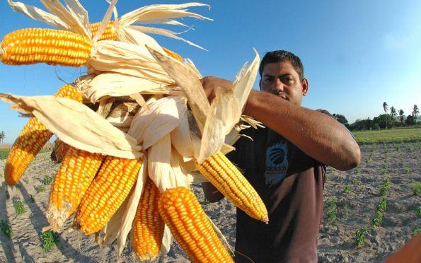 Redução do ICMS do milho traz resultados positivos para arrecadação