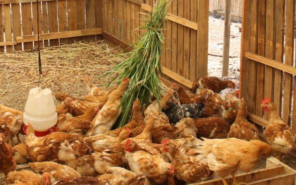 Sergipe tem maior aumento na produção de ovos entre estados do Nordeste